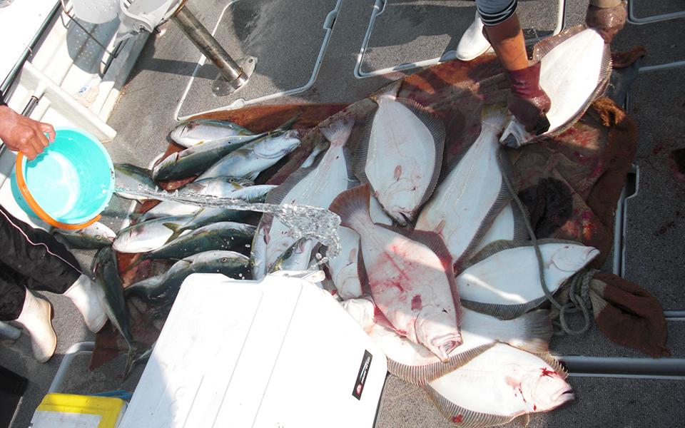 ヒラメ大漁