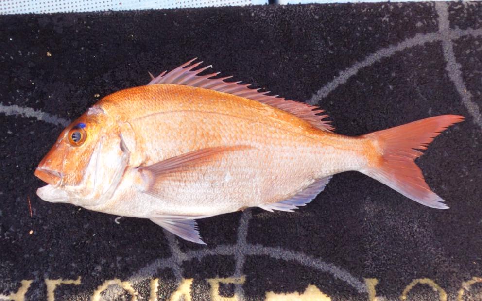 タイラバ調査で高級魚ゲット!