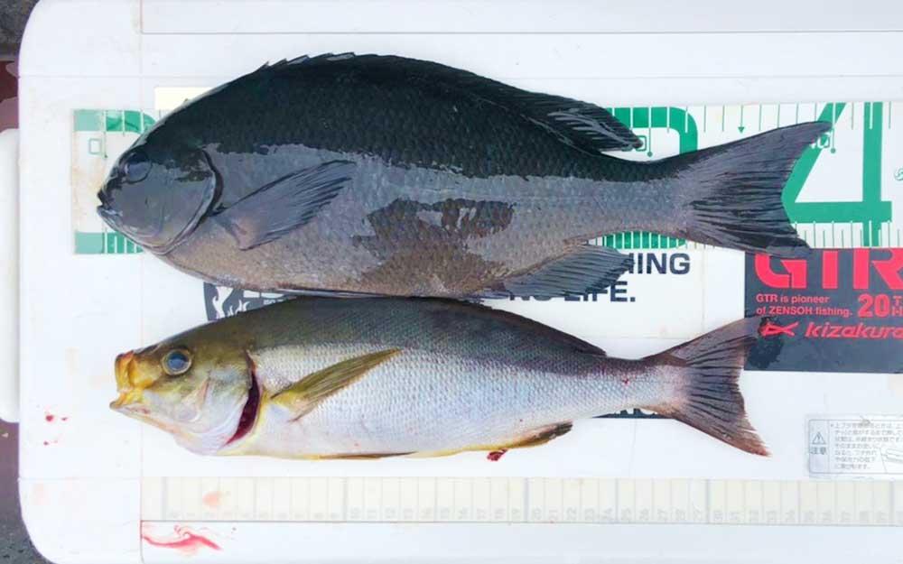 クロ釣りシーズン突入、倉島(マンジュウ)