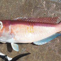 壱岐沖で高級魚「甘鯛(アマダイ)」を狙う