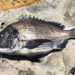 今年は遅れ気味、鷹島のノッコミ黒鯛