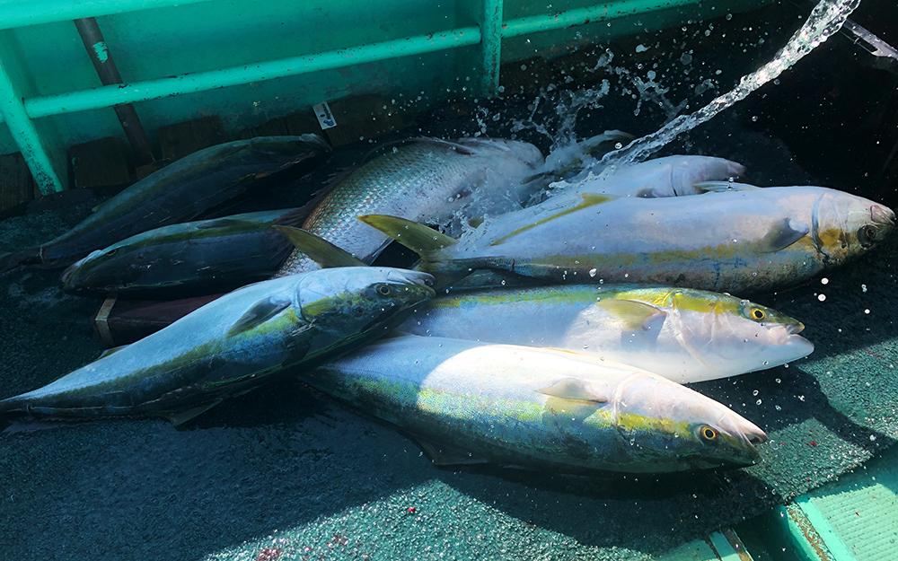 狙いは高級魚、今からがシーズンの落とし込み釣り