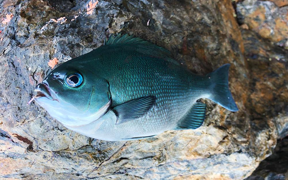 平日でも上五島は満席状態、クロ釣りシーズン中の倉島