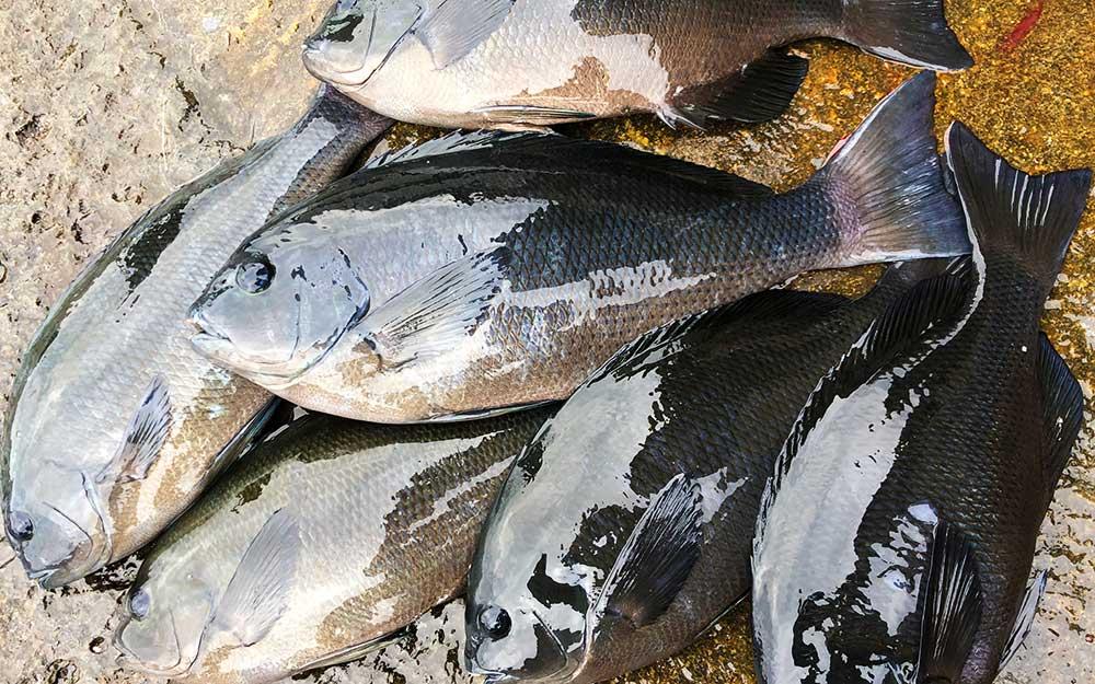 2020年釣り納め、食い渋り気味の帆揚(ヒナダン)