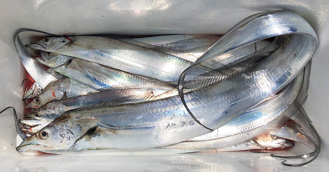 博多湾のドラゴン(太刀魚テンヤ釣り)